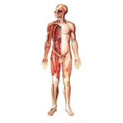 Sistemul nervos (imagine fata)