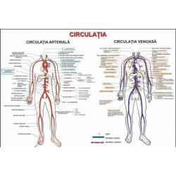 Circulatia (artere si vene)