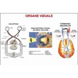 Organe vizuale