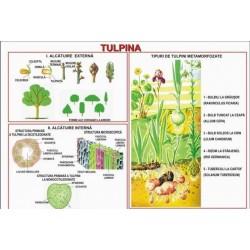 Tulpina