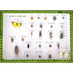 Set 25 specimene ale insectelor daunatoare
