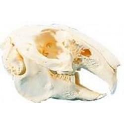 Craniu de iepure de camp