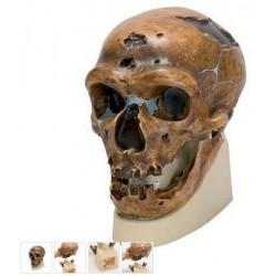 Mulaj craniu premium omul din NEANDERTHAL