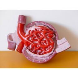 Corpuscul renal