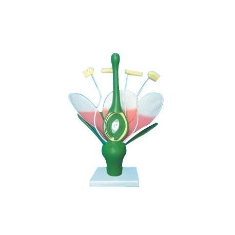 Model caracteristic florilor dicotiledonate (Floare de piersic)