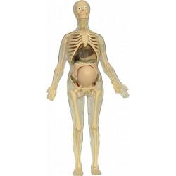 Anatomia femeii gravide
