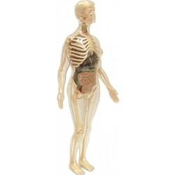 Anatomia femeii