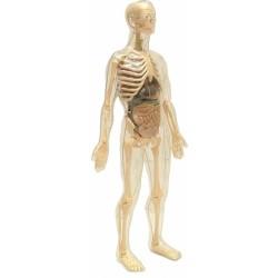 Anatomia barbatului