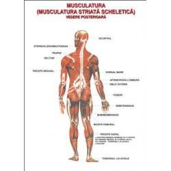 Sistemul muscular vedere posterioara