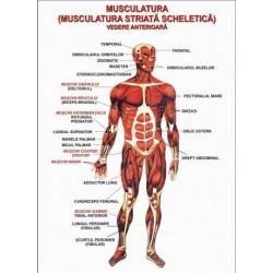 Sistemul muscular - vedere anterioara