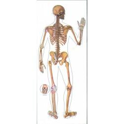 Schelet uman-spate
