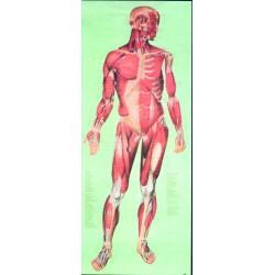 Sistemul muscular fata