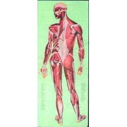 Sistemul muscular spate