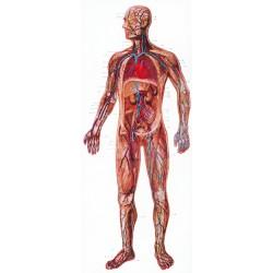 Sistemul circulator DF
