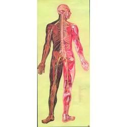 Sistemul nervos DF