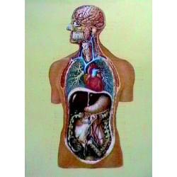 Organele interne DF