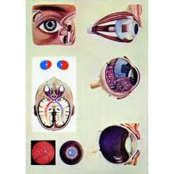 Ochiul uman – fiziologia vederii
