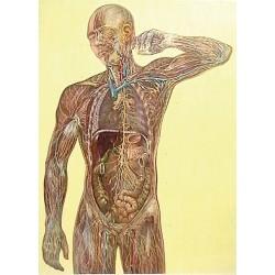 Sistemul limfatic DF