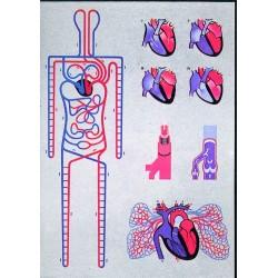 Circulatia sistemica si pulmonara