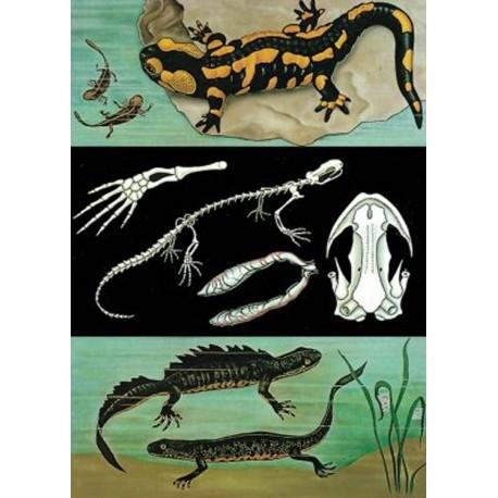Iguana – Salamandra