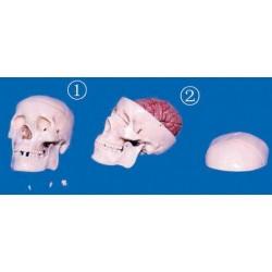 Craniu clasic cu encefal