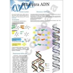 Structura ADN