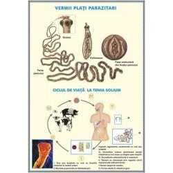 Reproducerea celulei / Viermii plati parazitari